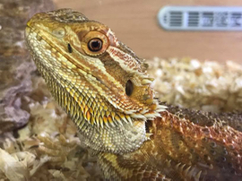 A close up of the head of a bearded dragon